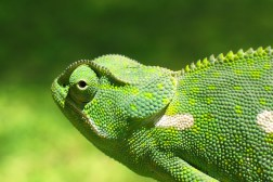 How Do Chameleons Change Skin Color