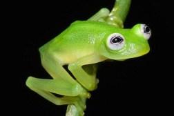 Frog Species Kermit