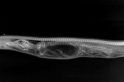 Python Digesting Alligator X-Ray Images