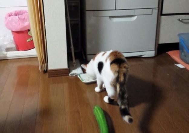 Funny Cat Video: Cucumber Scares Cat | BGR Funny Cat Videos Cucumbers