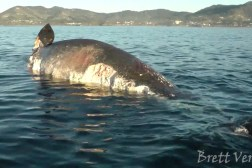 Sharks Eating Dead Whale Video