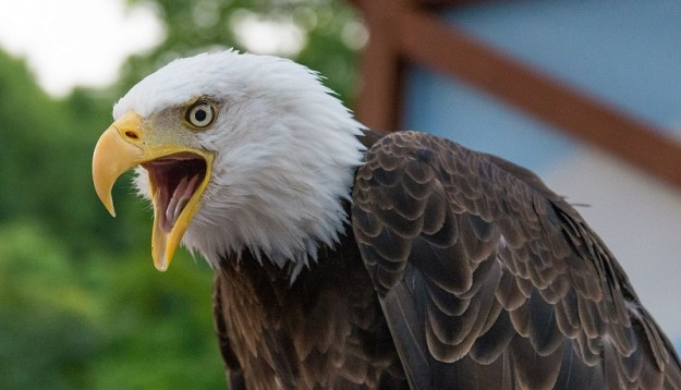 Eagles Trained To Intercept Drones