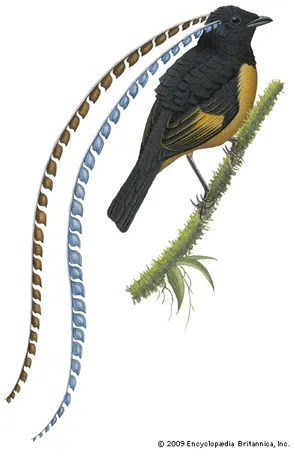 Bird of paradise   bird   Britannica com King of Saxony s bird of paradise  Pteridophora alberti