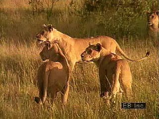 lion   Characteristics  Habitat    Facts   Britannica com Lions  Panthera leo  engaging in various activities such as hunting   eating  grooming