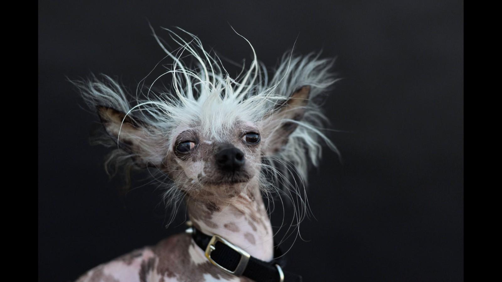 Graceful 150627125003 04 Ugliest Dog 0627 Super Tease Ugly Dog Breeds Ugly Hunting Dog Breeds bark post Ugly Dog Breeds