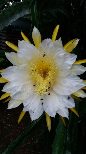 flor-pitahayafotodeldia28junio2016