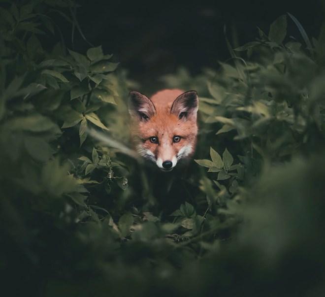 Душа леса. Фотограф Конста Пункка животные, фотограф