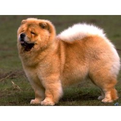 Small Crop Of Chinese Dog Breeds