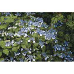 Divine What Hydrangea Colors Are Most How To Change Color From Pink To Blue Gardenista Hydrangea Not Blooming Extension Hydrangeas Not Blooming This Year 2016