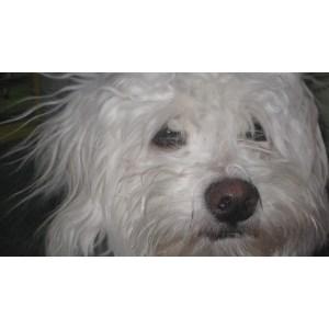 Gallant Adoption Shih Tzu Yorkie Mix Dog Shorkie Tzu Shorkie Tzu Dog