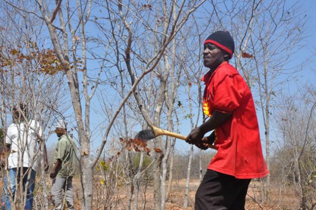 Farmer prunes a tree using FMNR techniques. Credit: Charles Karis/IPS