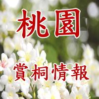 桃園油桐花3