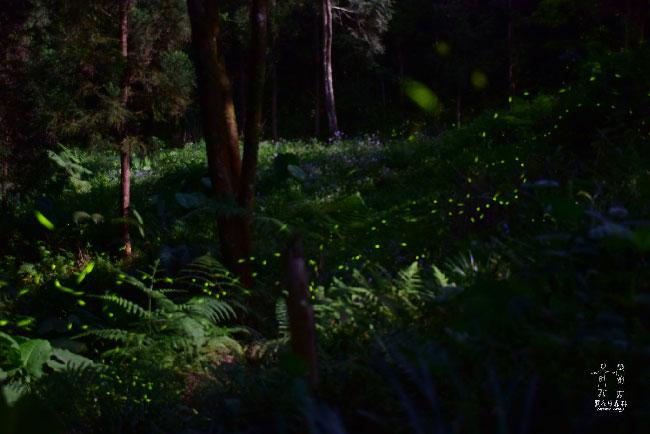 薰衣草森林-螢火蟲-2