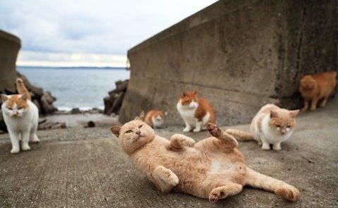 愛媛青島-貓島6
