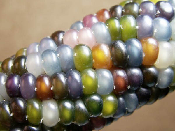 琉璃玉米1