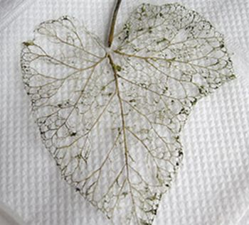 skeletonized-leaf.jpg