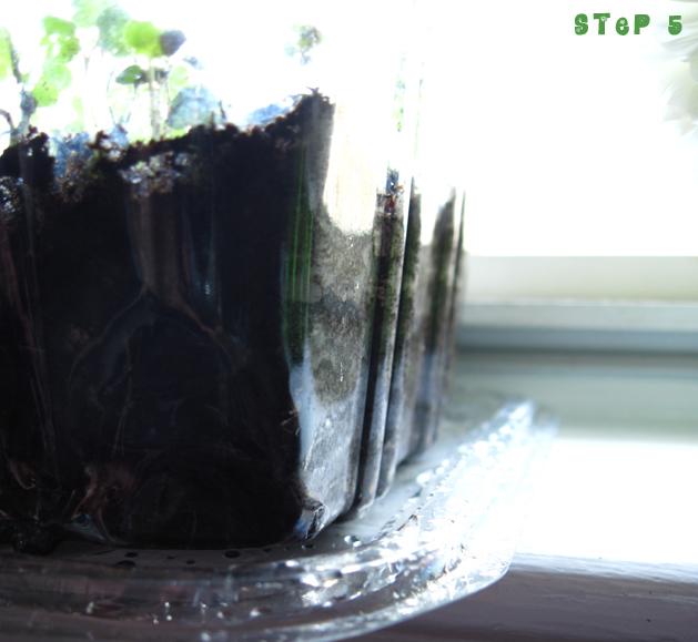 Microgreens Step5