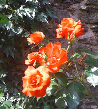 rosesinbloom314x349.jpg