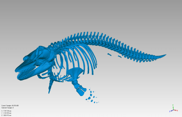 "A 3D surface model of ""Kruzof,"" the 4-year-old whale (SSSC-2011008) that washed ashore in 2011. SSSC-2011008 was recovered, processed and scanned under NOAA Fisheries MMHSRP Permit 932-1905.)(Image courtesy of Idaho Virtualization Laboratory)"
