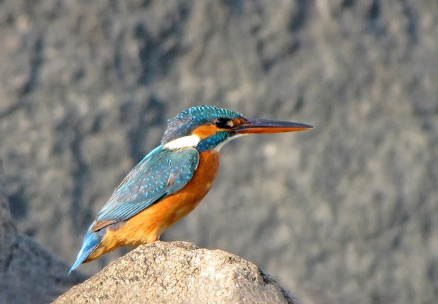 Common Kingfisher. Photo by Karunakar Rayker.