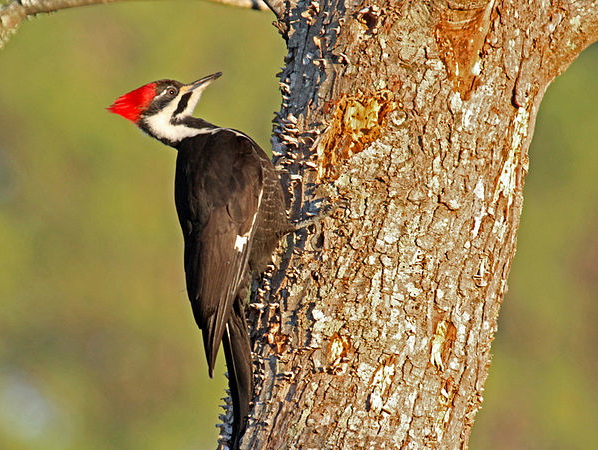 Pileated Woodpecker. Photo by Dick Daniels.