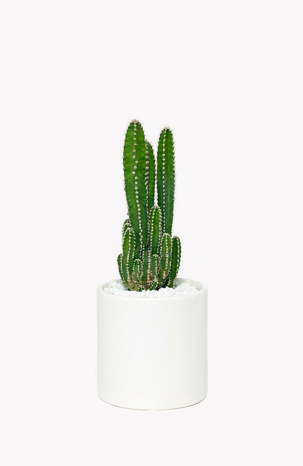 Congenial Fairy Castle Cactus A Cylindrical Pot Fairy Castle Cactus Sale A Cylindrical Pot Vertuose Fairy Castle Cactus Variegated Fairy Castle Cactus houzz 01 Fairy Castle Cactus