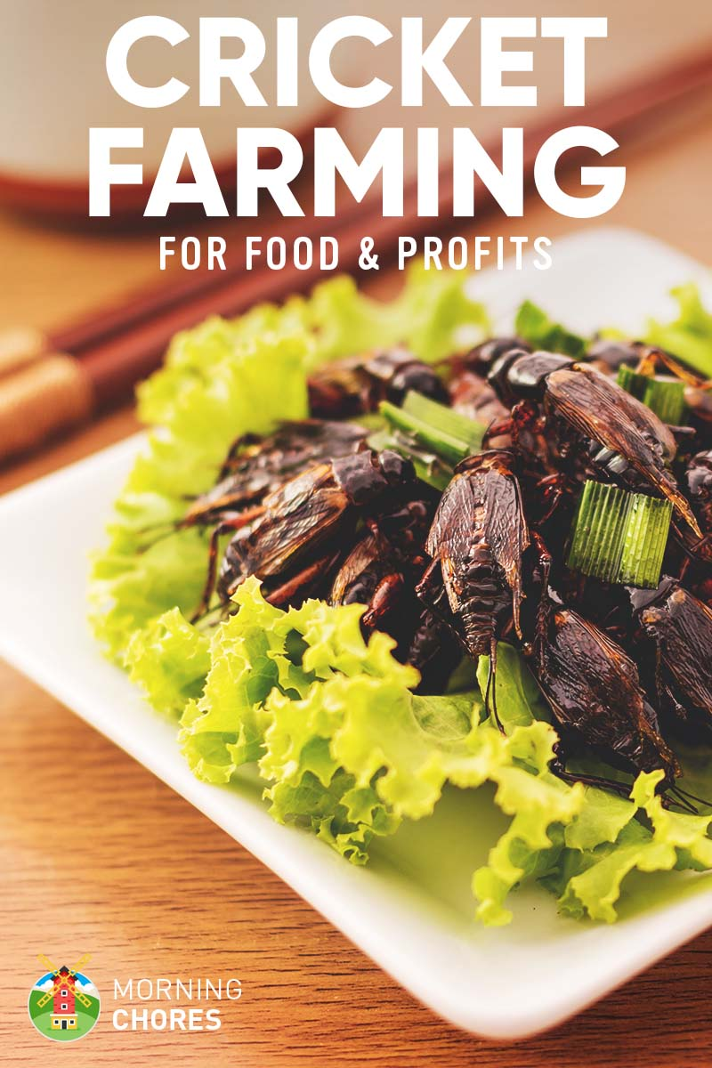 Hairy Food Desert Cricket Farming How To Raise Crickets My House What Do Crickets Eat Profits What Do Crickets Eat houzz-03 What Do Crickets Eat