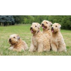 Small Crop Of Wheaten Terrier Mix