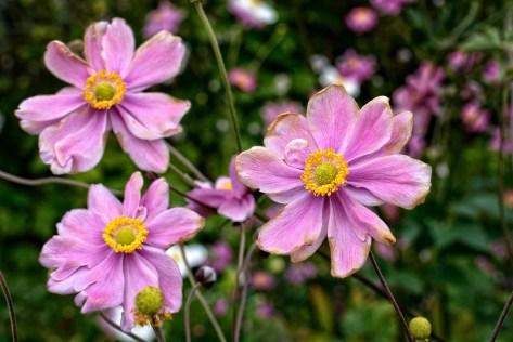Anémone D'Automne, Anémone Hupehensis, Anémone, Fleur