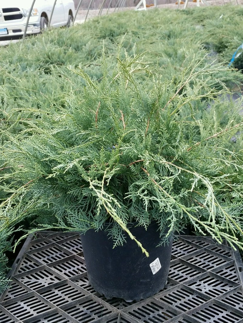 Large Of Grey Owl Juniper