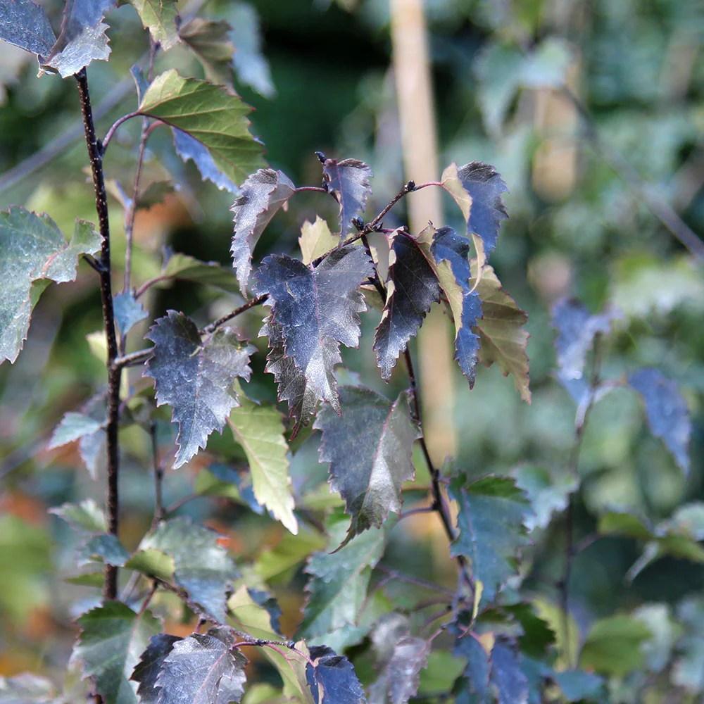 Reputable Betula Pendula Royal Frost Betula Pendula Royal Frost Mail Order Trees Royal Frost Birch Bark Royal Frost Birch Tree Sale houzz 01 Royal Frost Birch
