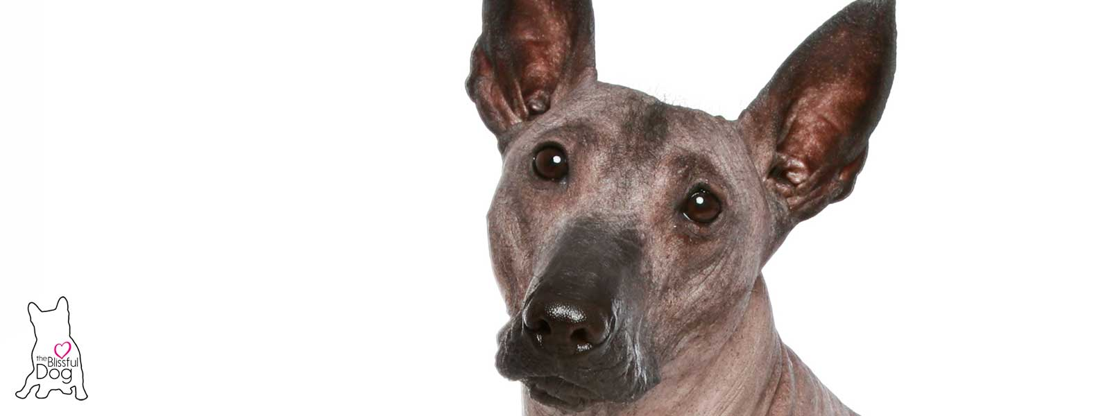 Fullsize Of Hairless Dog Breeds