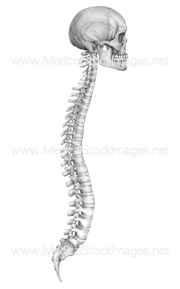 Large Of Picture Of Spine