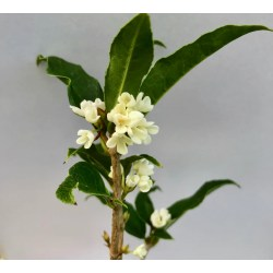 Small Crop Of Fragrant Tea Olive