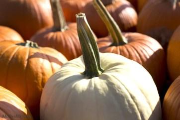 orange white pumpkin photo