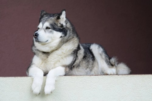Medium Of Wolf Like Dogs