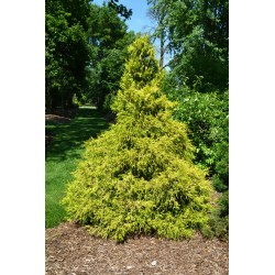 Small Crop Of Gold Mop Cypress