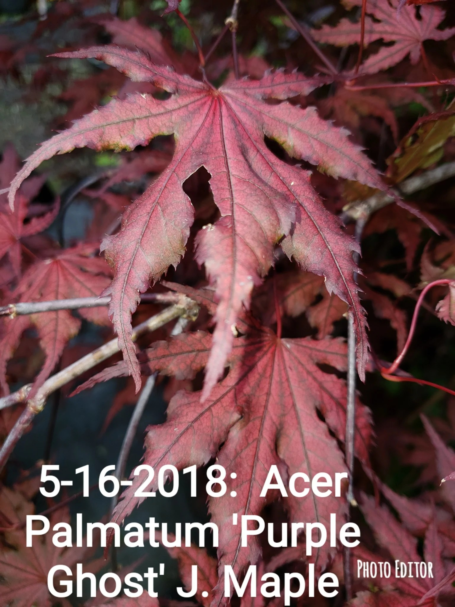 Sophisticated Sale Purple Ghost Japanese Maple Acer Palmatum Japanese Maples Acer Palmatum Japanese Maples Bleuwood Nursery Purple Ghost Japanese Maple Bonsai Sale houzz-03 Purple Ghost Japanese Maple