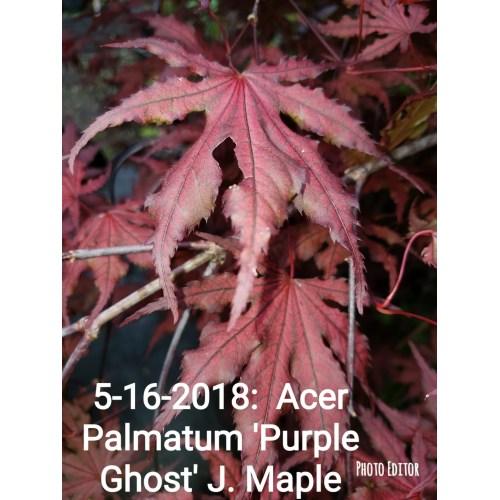 Medium Crop Of Purple Ghost Japanese Maple