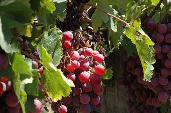 Grapes image via Flickr user catsper