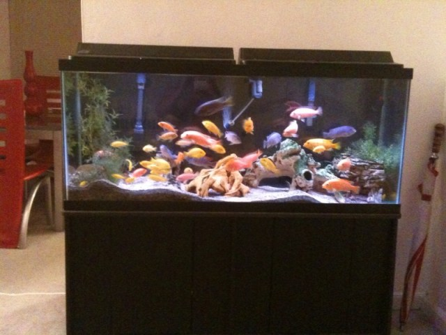 55 gallon fish tank how many cichlids 2017 fish tank for 55 gallon corner fish tank