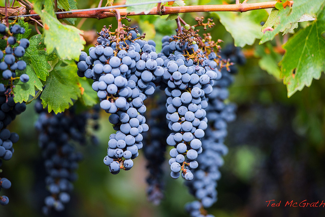 argentinian grapes