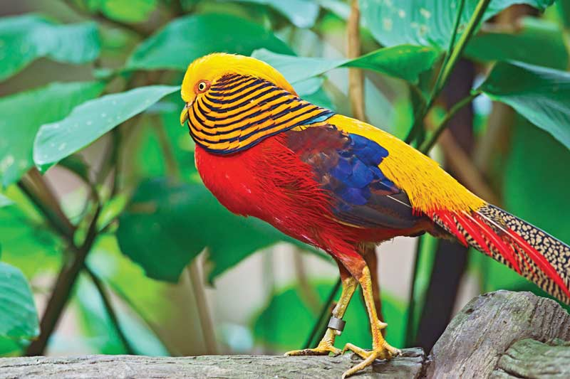 Exotics   Golden Pheasant Jigsaw Puzzle   PuzzleWarehouse com Exotics   Golden Pheasant Birds Jigsaw Puzzle