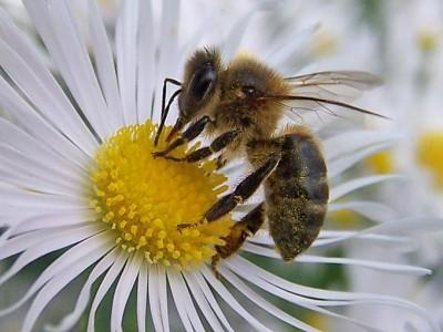 Las abejas son capaces de resolver problemas matematicos complejos Abejas resuelven problemas matematicos