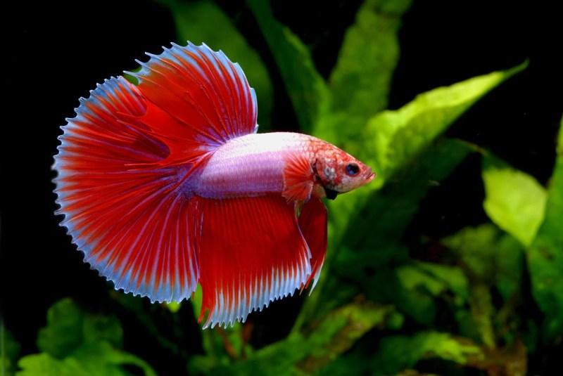 Large Of Betta Fish Lifespan