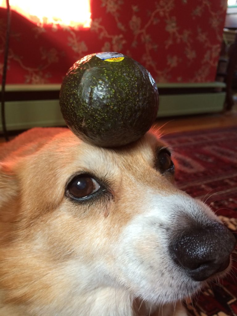 Exquisite Dogs Yahoo Answers Is Avocado Meat Good Dogs Things On Head Foods Dangerous To Dogs Is Avocado Bad bark post Are Avocados Good For Dogs