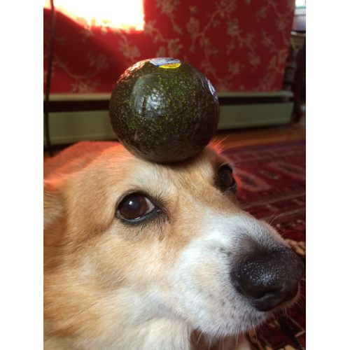 Medium Crop Of Are Avocados Good For Dogs
