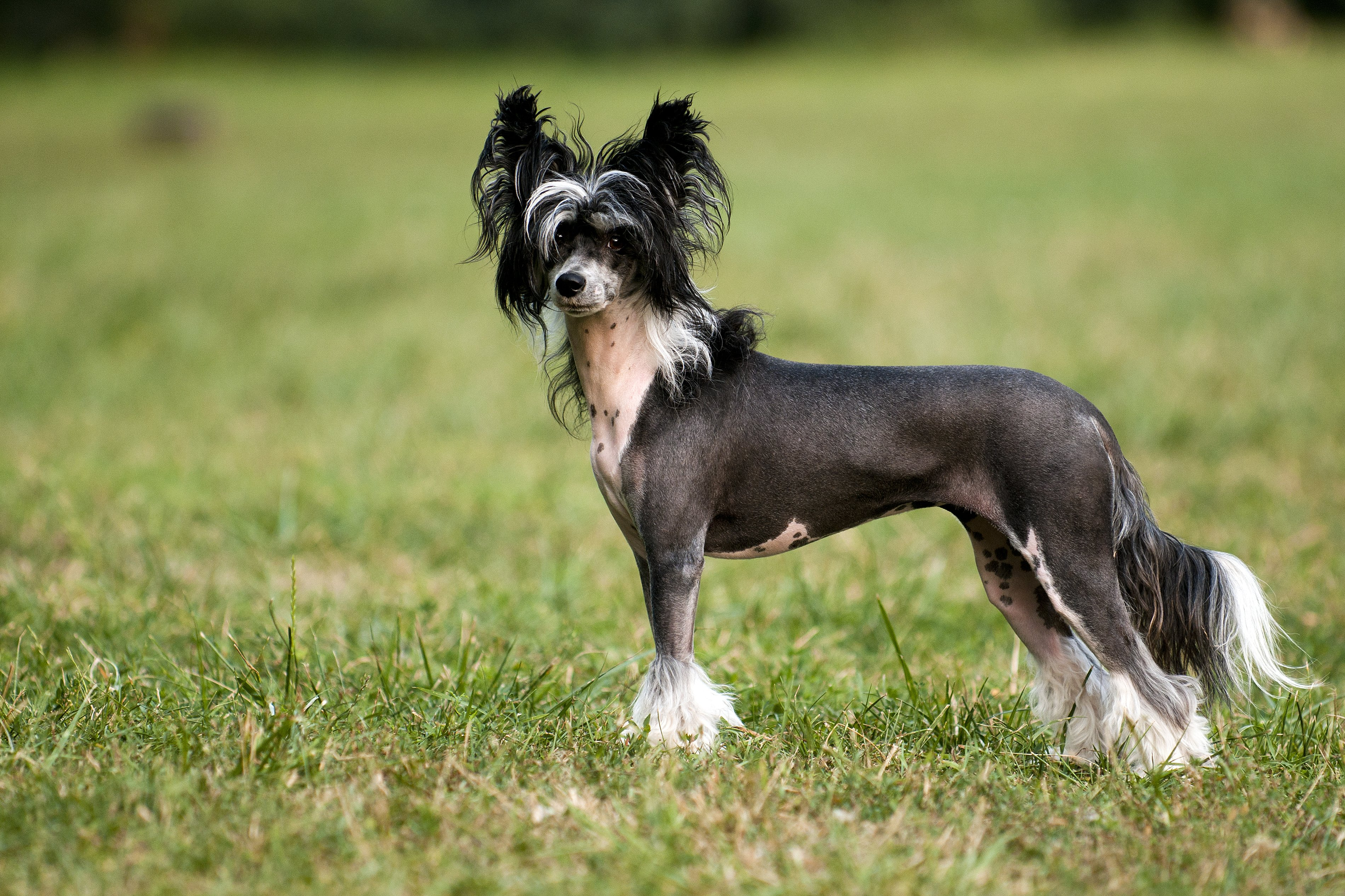 Attractive Chinese Crested Dog Ten Most Hypoallergenic Dogs Allergy Sufferers Low Maintenance Dogs That Can Be Left Alone Low Maintenance Dogs India bark post Low Maintenance Dogs