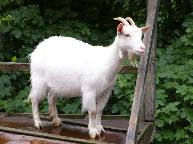 he goat