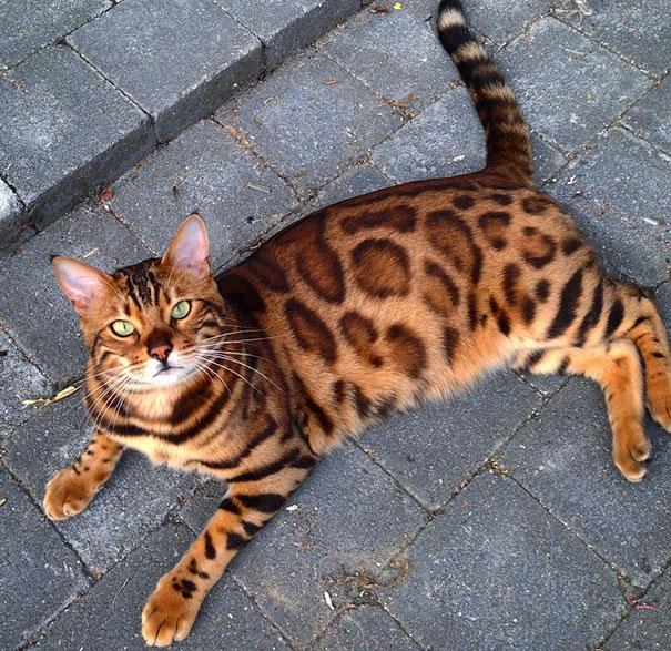 gato-impresionante1